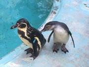 高知・桂浜水族館の赤ちゃんペンギン、すくすく成長 かわいらしい「おねだり」も