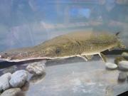 高知の「桂浜水族館」にアリゲーターガー 地元高校生が釣り上げ保護