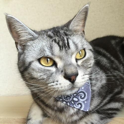 バンダナ風の首輪を巻いた猫