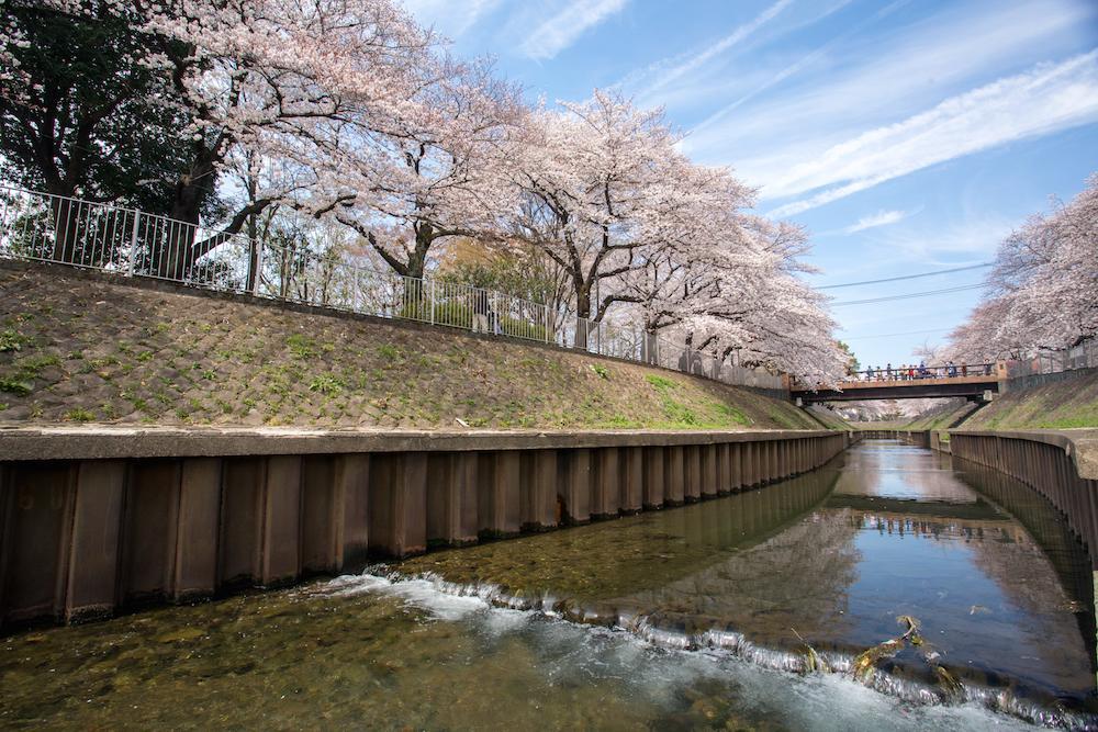 ドローンで撮影した善福寺川緑地の桜 ©中央線あるあるプロジェクト実行委員会