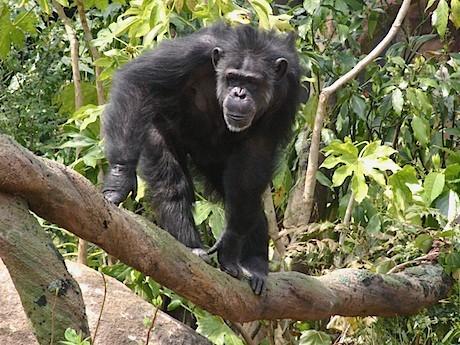 今回サイエンスカフェの話題として取り上げるチンパンジー