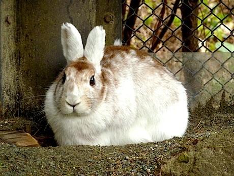 換毛でほぼ真っ白になったトウホクノウサギ