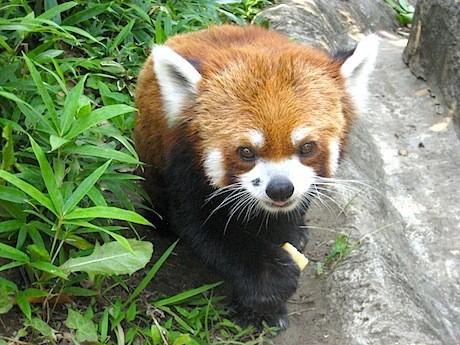 鼻の横の黒いほくろがチャームポイントのレッサーパンダの恋(レン)くん