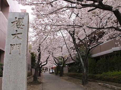 金蔵寺の「桜大門」