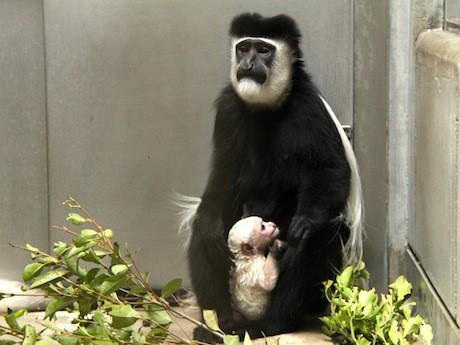 1月18日に赤ちゃんが生まれたアビシニアコロブスも展示予定(赤ちゃんの公開は未定)