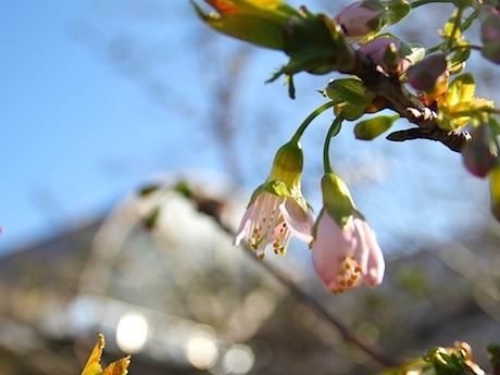藤が丘地区センター玄関前に咲いたヒマラヤザクラ