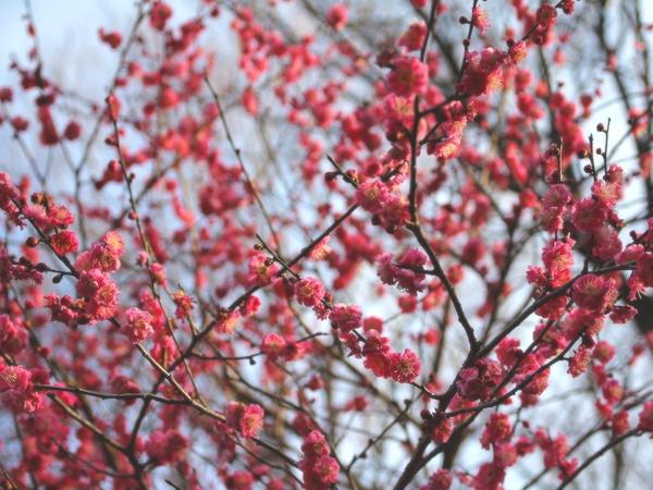 咲き始めた園内の梅
