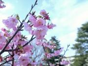 たまプラーザで「桜まつり」 桜の植樹や駅前桜並木の再整備も進む