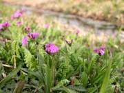 新横浜公園のサクラソウが開花 自生地復活プロジェクトで毎年植栽
