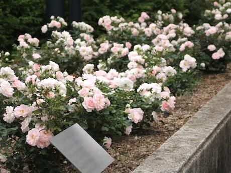 淡いピンクの花を咲かせる「ローザつづきく」