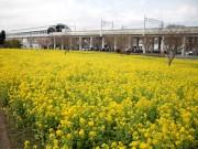 川和町駅前に菜の花のじゅうたん 見頃まであと少し