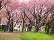 菊名・カーボン山の八重桜が満開 園内をピンク色に染める