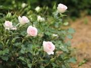 街の名前が付いたバラ「ローザ・つづきく」開花 バラまつりも