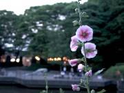 梅雨の期間花を咲かせる「タチアオイ」 県立四季の森公園で今年も開花