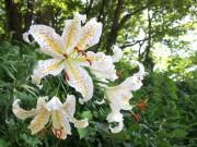 四季の森公園でヤマユリが今年も開花 観察会も開催へ
