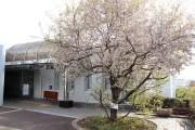 藤が丘地区センターの「サクラ」が今年も開花 もうすぐ見ごろ