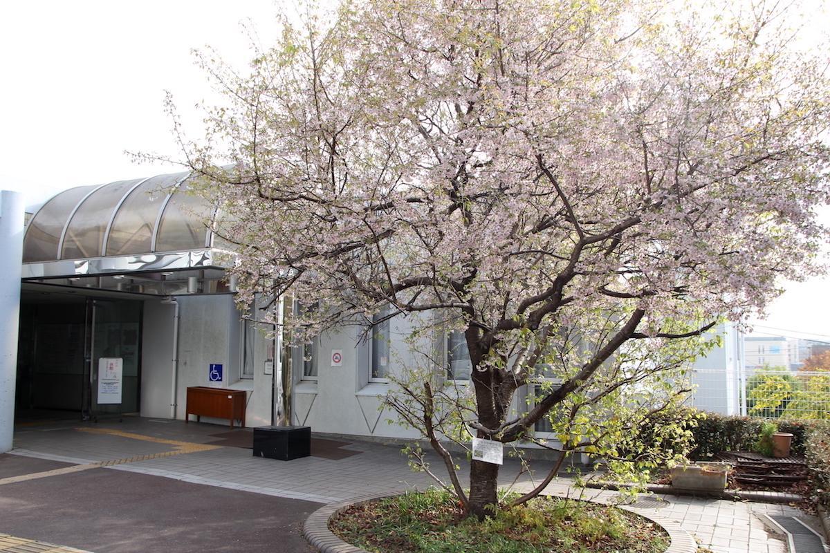 冬に咲くサクラ「ヒマラヤザクラ」