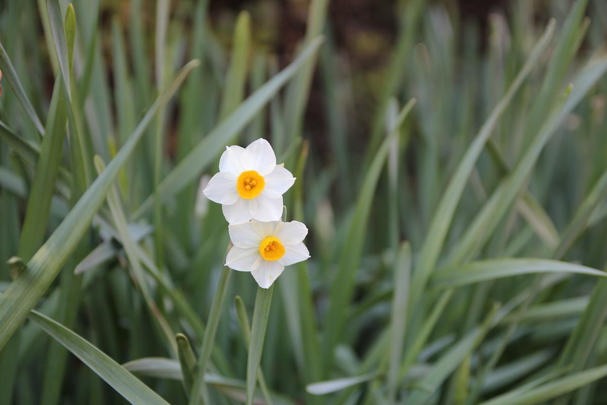 四季の森公園でスイセン開花 数本が咲き始める