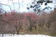 こどもの国梅林の梅が開花 梅まつりも開催