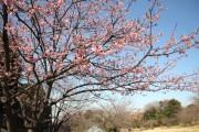 四季の森公園、さくらの谷でカンザクラが開花 見ごろはこれから