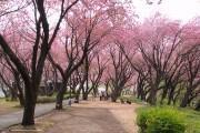 菊名・カーボン山で桜まつり開催へ 八重桜は見ごろ迎える