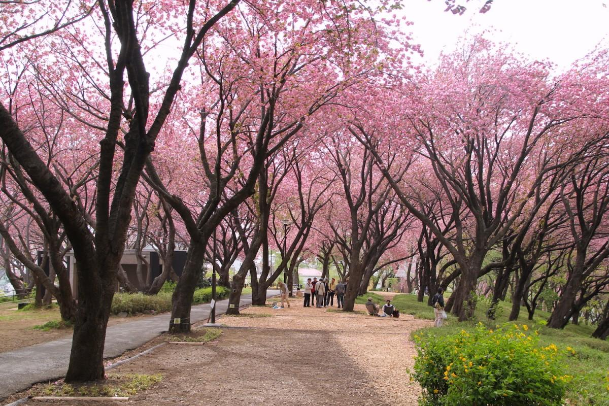 八重桜の見ごろを迎えた菊名桜山公園