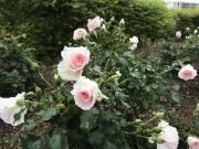 「都筑区」の名前冠したバラ「ローザ・つづきく」開花 バラまつりも