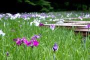 県立四季の森公園のハナショウブが開花 ホタル観賞とともに楽しめる