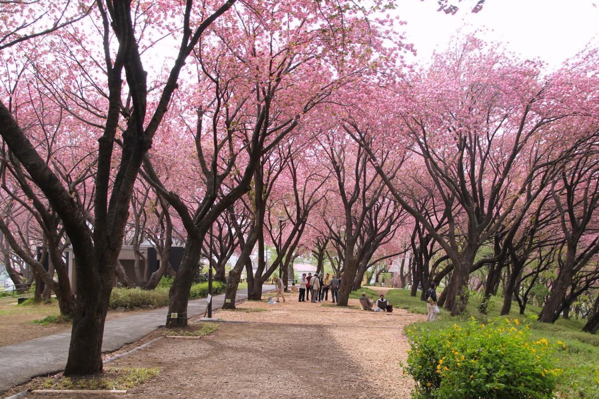 会場は八重桜の名所「菊名桜山公園(カーボン山)」。写真は春に撮影