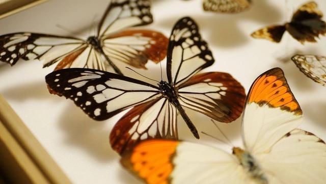 昆虫標本作りに挑戦する