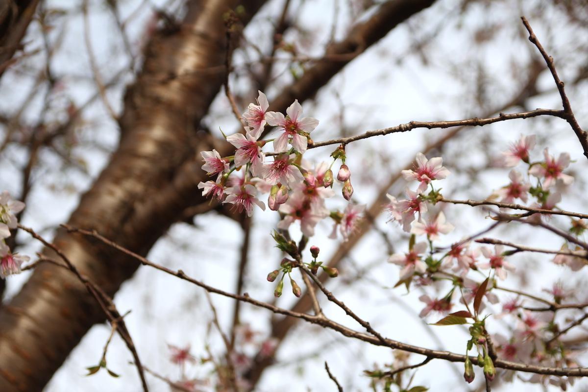 開花した「ヒマラヤザクラ」。現在三分咲き(11月26日撮影)