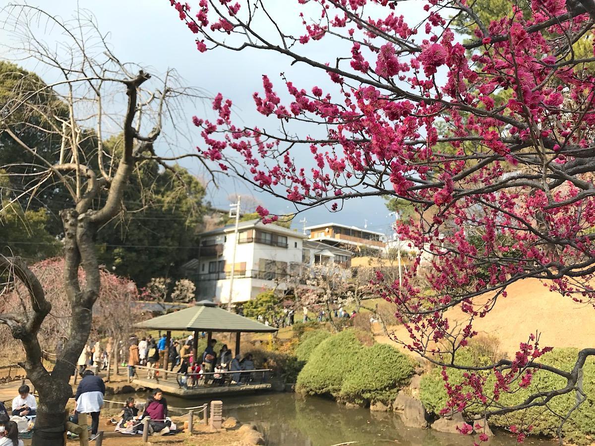 大倉山観梅会をはじめ、港北区内で撮影された梅の写真を募集