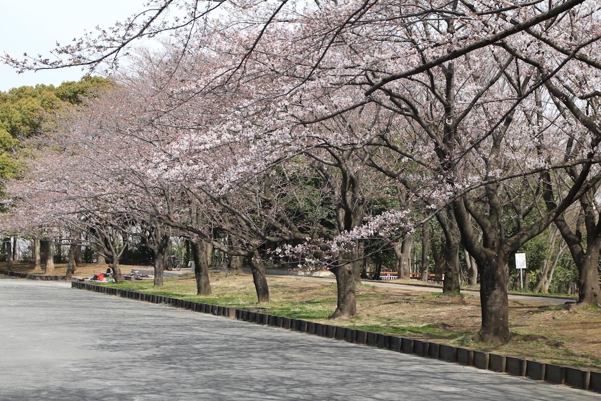 開花した桜