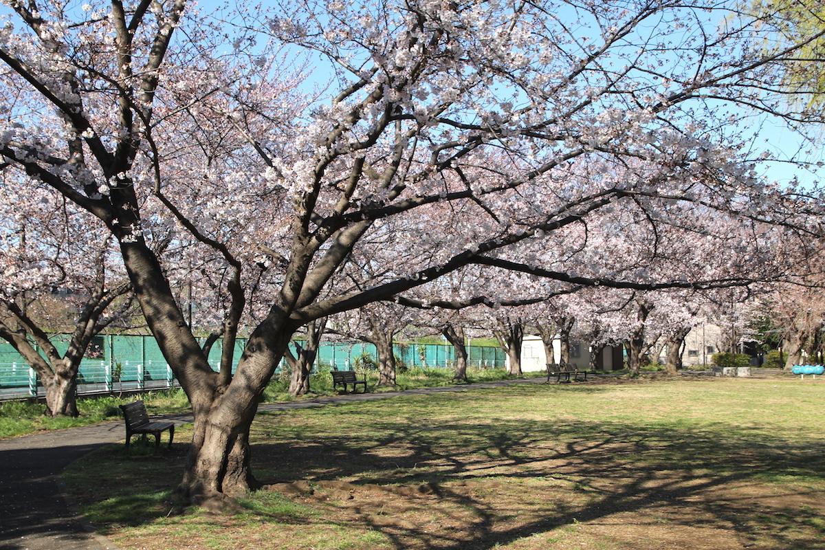 佐江戸公園の桜