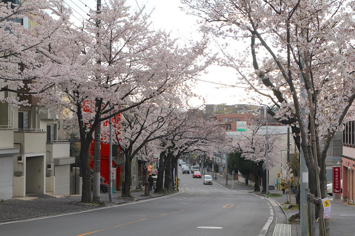 桜台の桜並木(4月3日撮影)