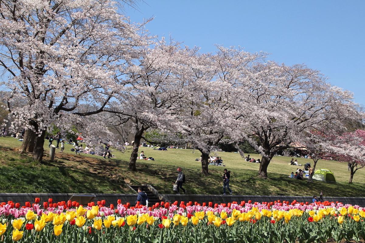 見頃となった桜