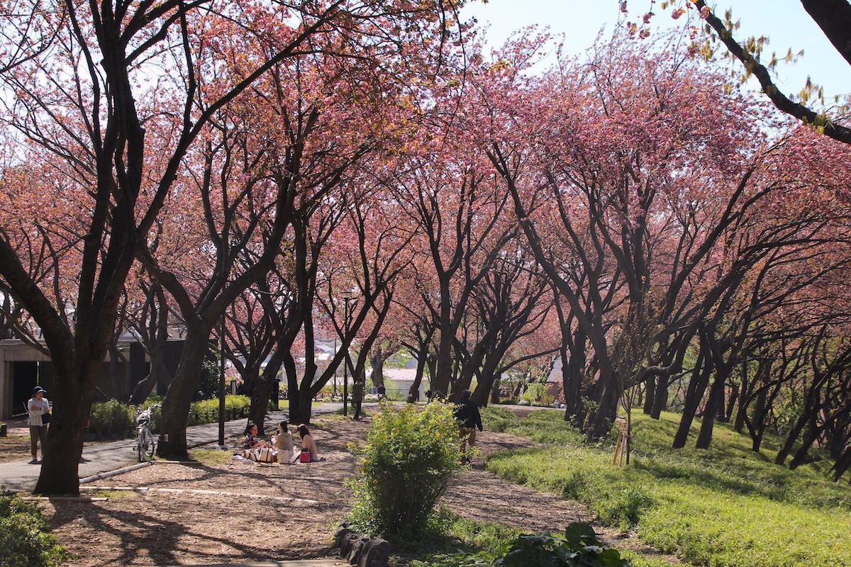 八重桜が開花した菊名桜山公園