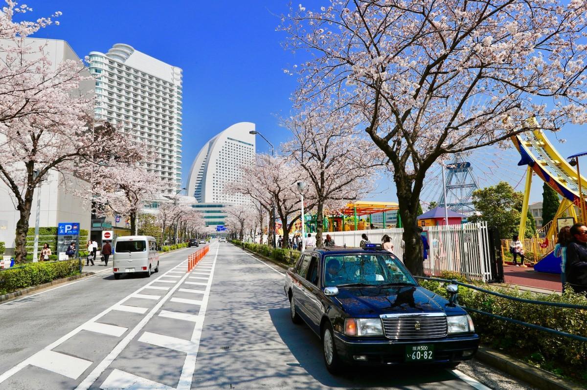 お薦めの桜の名所を案内してくれる
