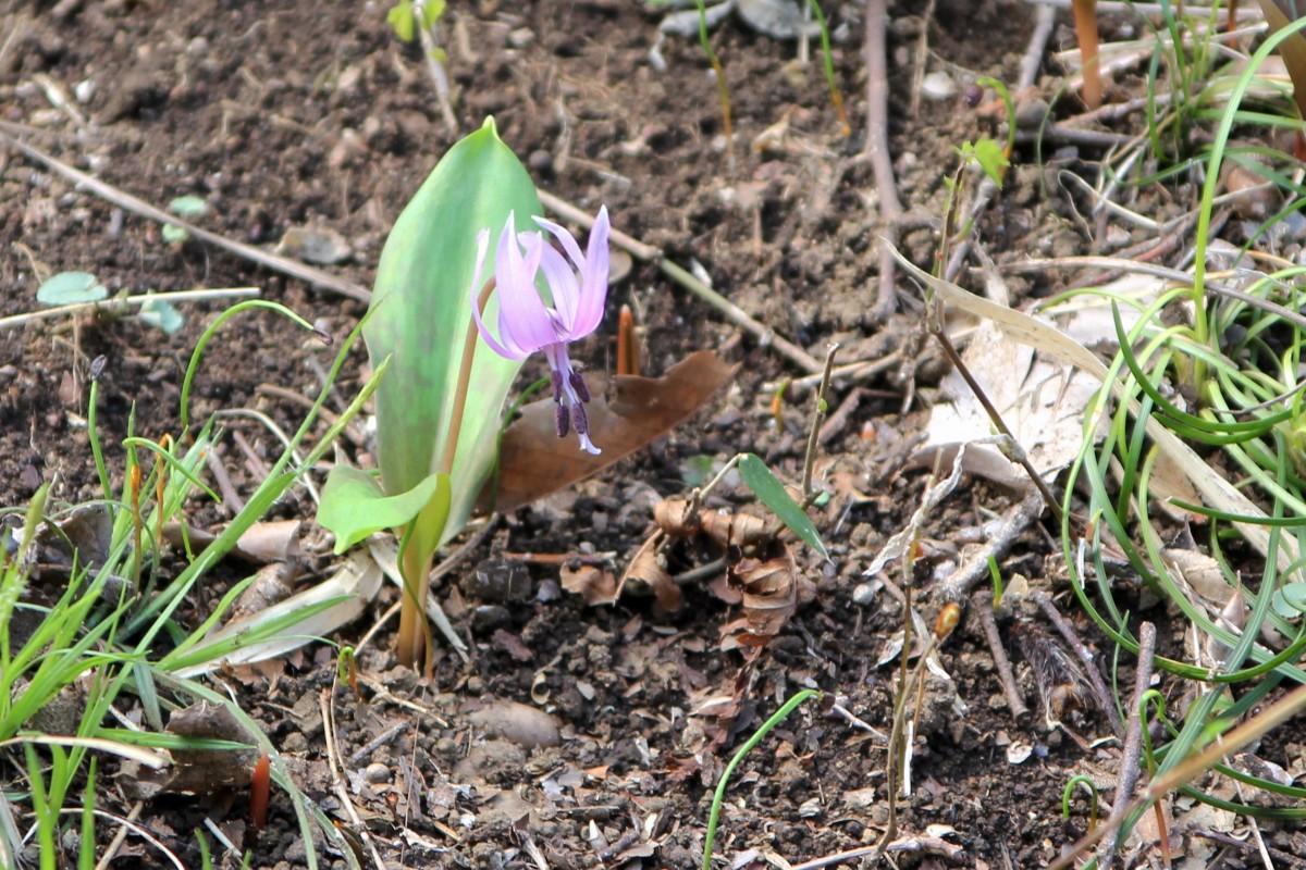 春の妖精とも呼ばれるカタクリの花