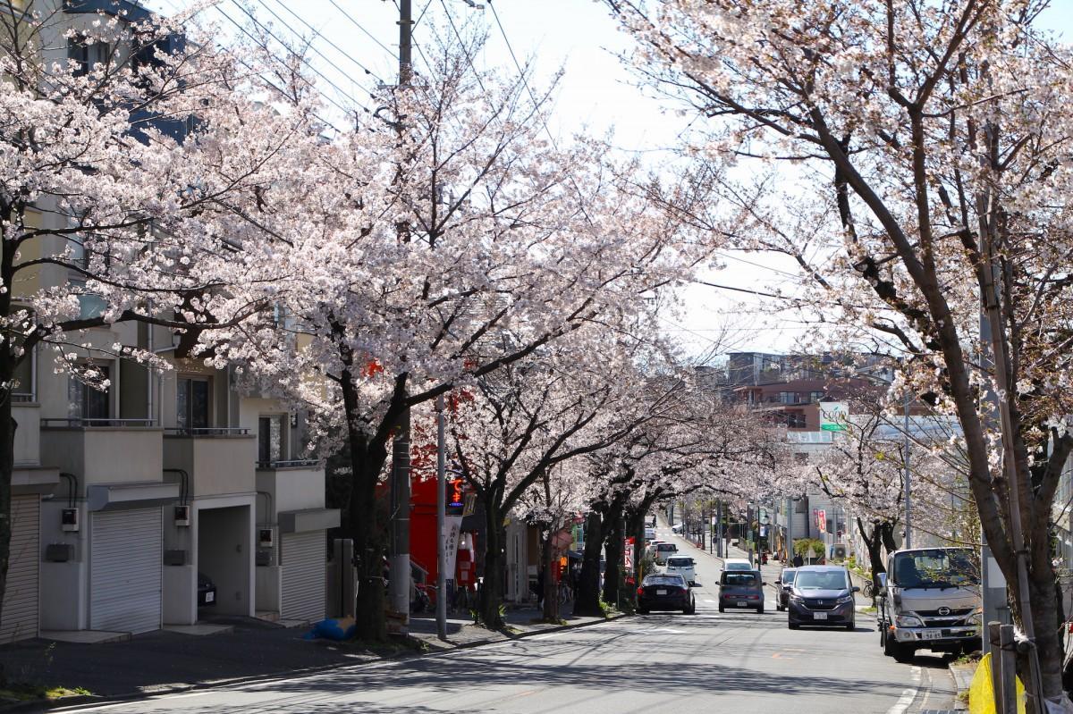 桜楽坂の桜並木(3月25日撮影)