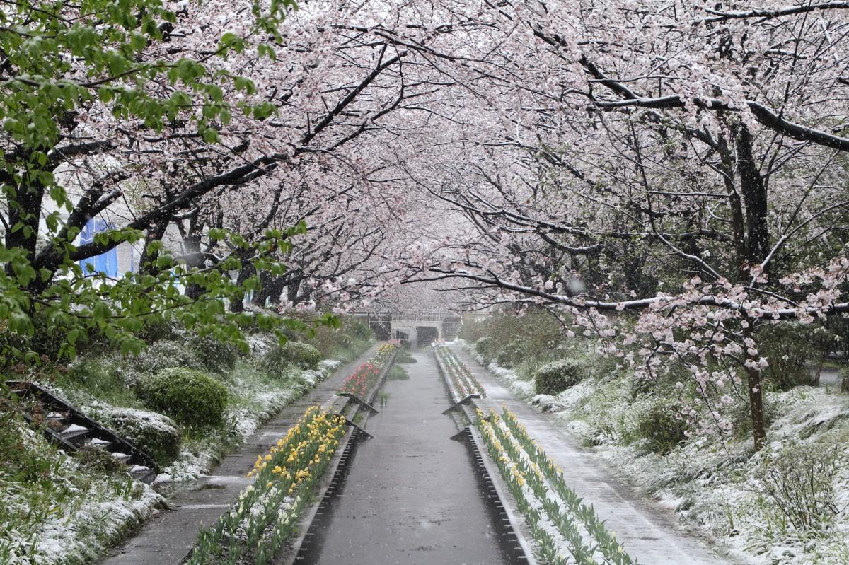 都筑では珍しい雪化粧の桜