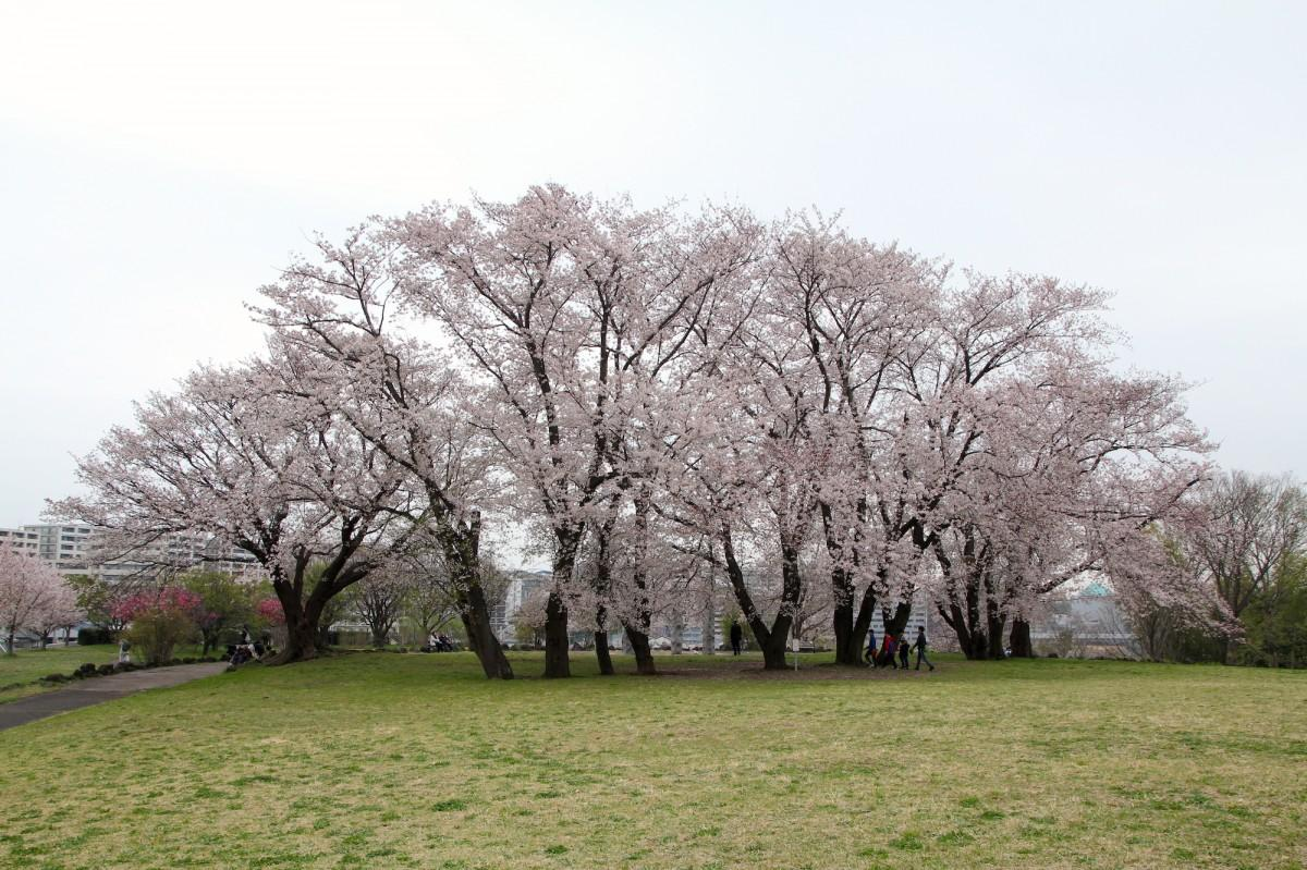 満開になったソメイヨシノ。3月31日撮影