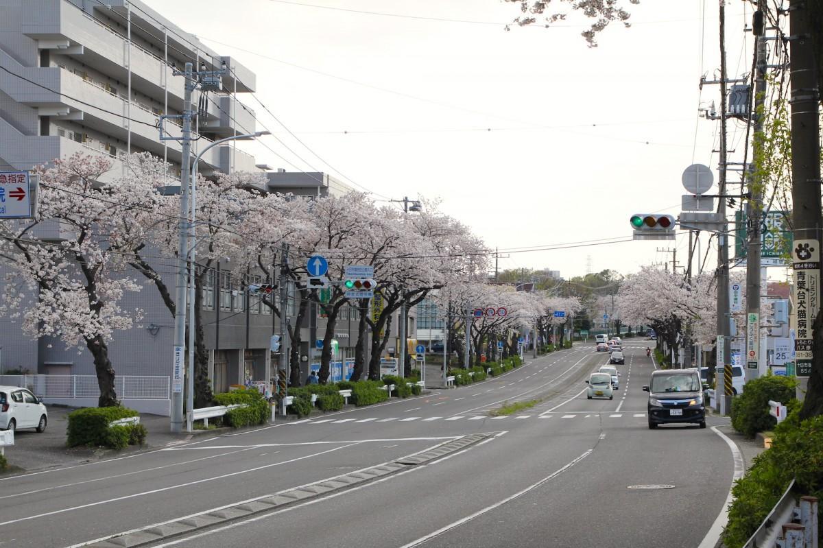 見頃を迎えた桜。4月4日撮影