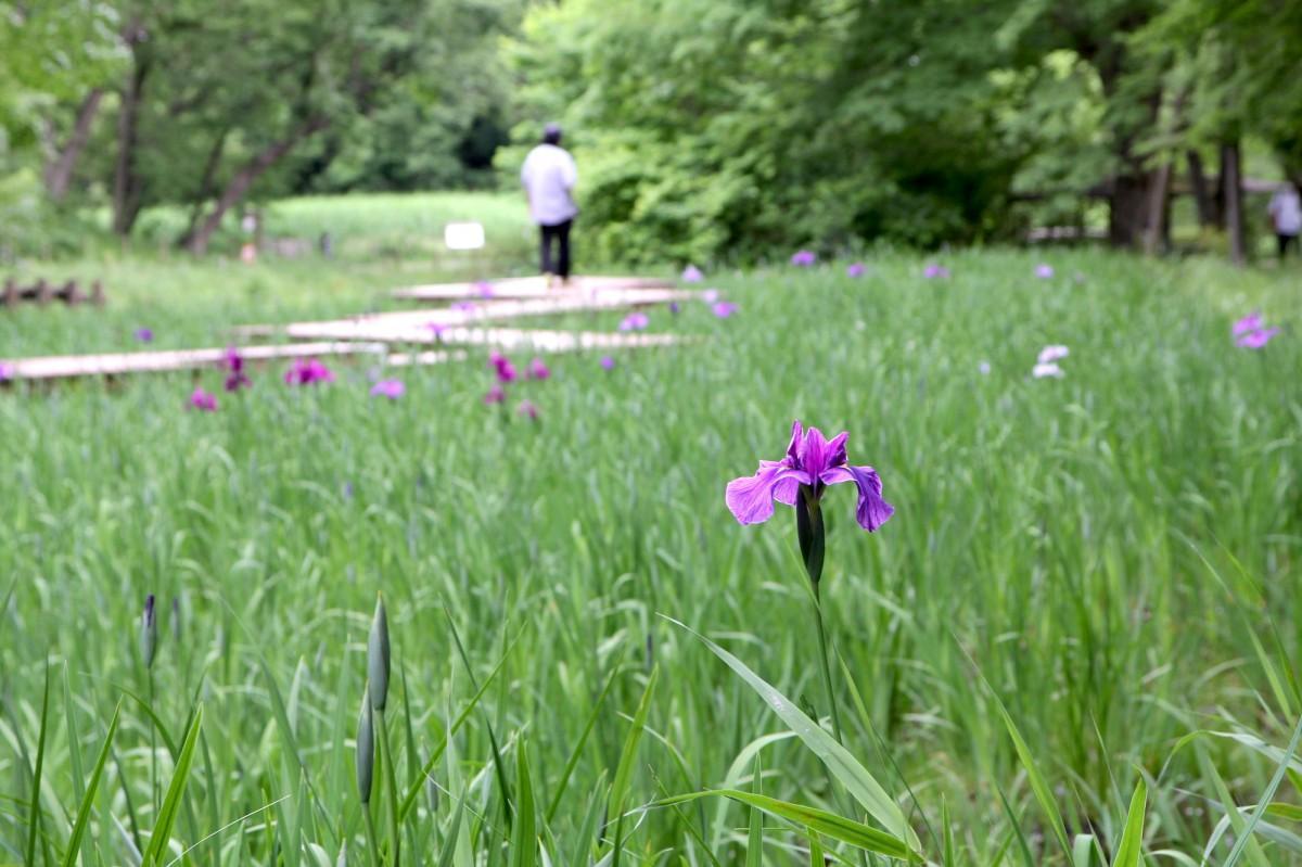 開花したハナショウブ。5月25日撮影