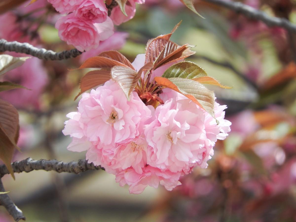 本物の八重桜を店内に生ける予定