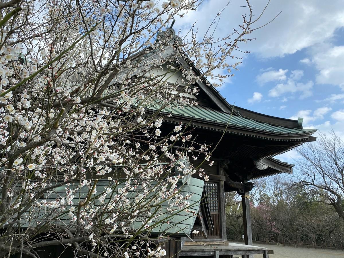 開花した境内の梅の花(2月8日撮影)