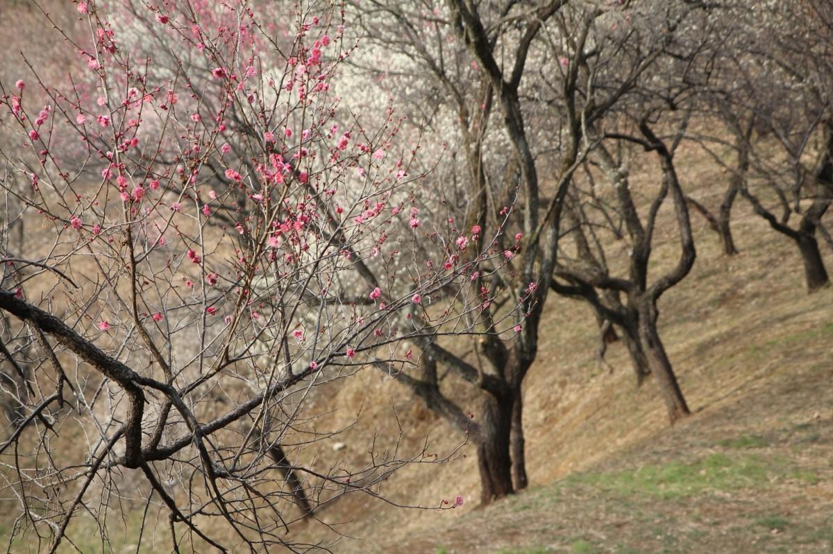 開花した梅の花