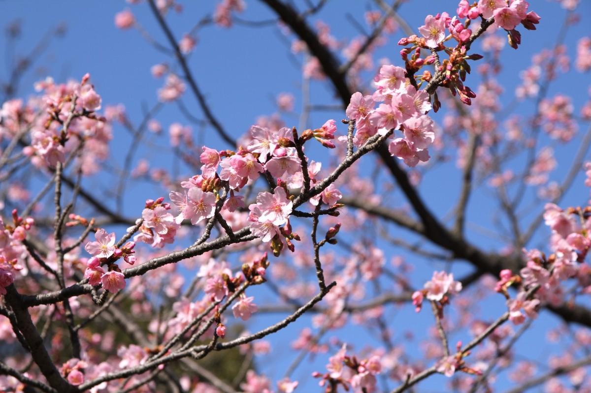 開花したカンザクラ(2月25日撮影)