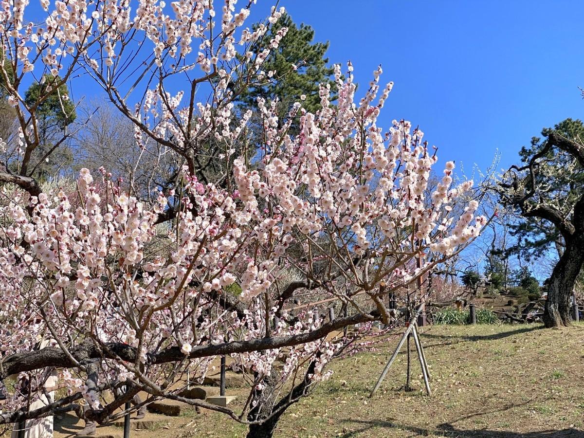 見頃を迎えた梅の花(2月28日撮影)