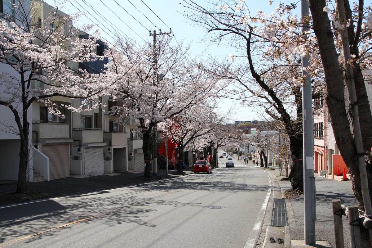 桜楽坂の桜並木(3月24日撮影)